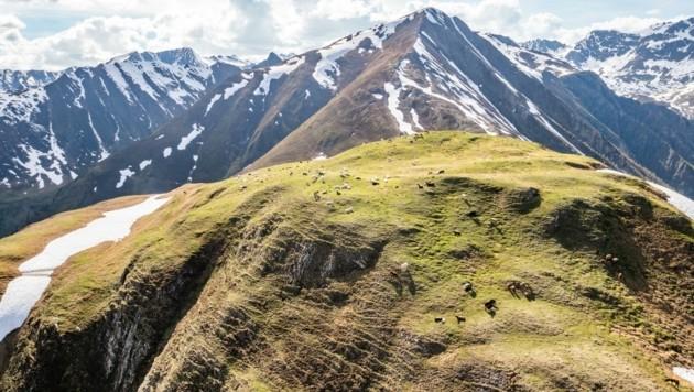 Wo der Wolf auf die Weiden des Lader Heuberges gelangte, ist noch unklar (Bild: Andreas Amplatz)