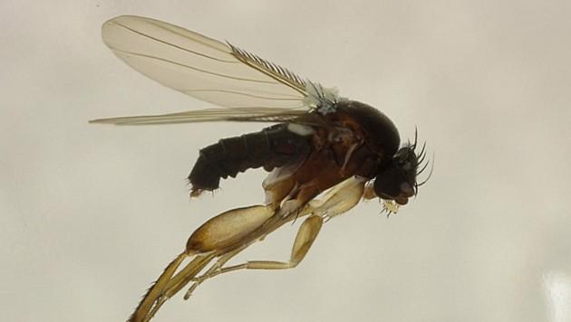 Sargfliegen werden mit einem Geruch, der an verwesende Insekten erinnert, zur Bestäubung gelockt. (Bild: APA/THOMAS RUPP)