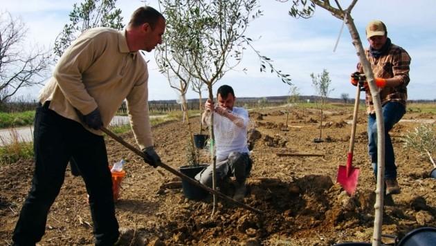 Olivenanbau in Österreich ist möglich, davon sind Daniel Rössler, Lukas Hecke und Markus Fink überzeugt. In Mörbisch wurden 2020 drei Olivenhaine gesetzt. Starthilfe bekommt das Projekt von der Wirtschaftsagentur Burgenland. (Bild: Agro Rebels)