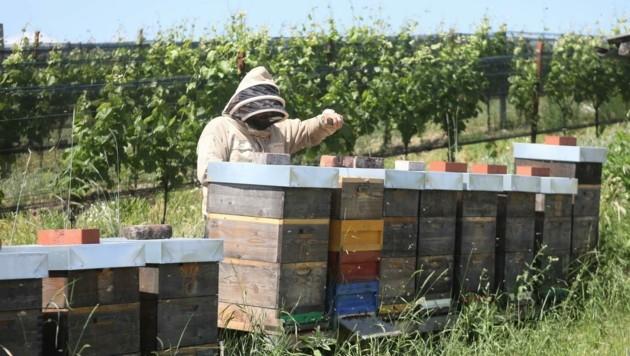 """Das Projekt """"Honigbienen in Weingärten"""" erhielt den begehrten Bio-Innovationspreis. (Bild: DANIEL FENZ, Landesmedienservice)"""