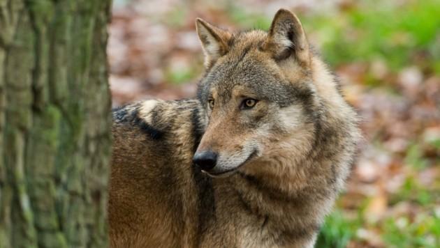 Der Schutzstatus für den Wolf spaltet Bauern und Tierschützer. (Bild: Ralph Frank)
