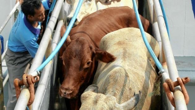 Bilder die unter die Haut gehen: verletzte oder ins Meer gefallene Rinder werden mittels Seilzug ins Schiff gehievt. Diese Barbarei muss ein Ende finden. (Bild: Mast Irham/EPA /picturedesk.com)
