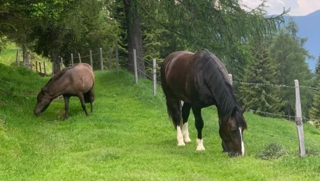 Pony Pedro und Warmblut-Wallach Rodion sind seit Freitagfrüh auf der Gerlitzen unterwegs. (Bild: zVg)