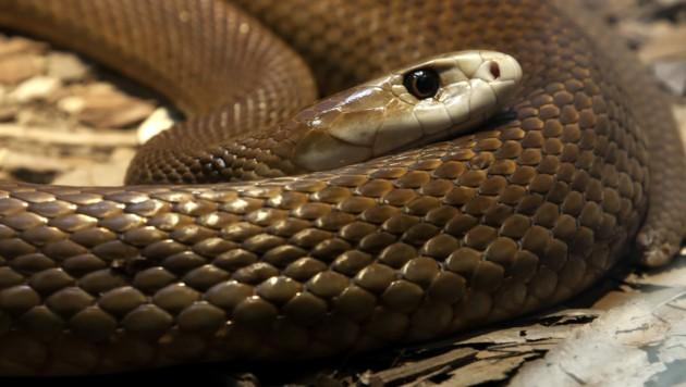 Ein hochgiftiger Taipan, ähnlich diesem, wurde ebenfalls in der Wohnung des Fußfesselträgers entdeckt. (Bild: stock.adobe.com)