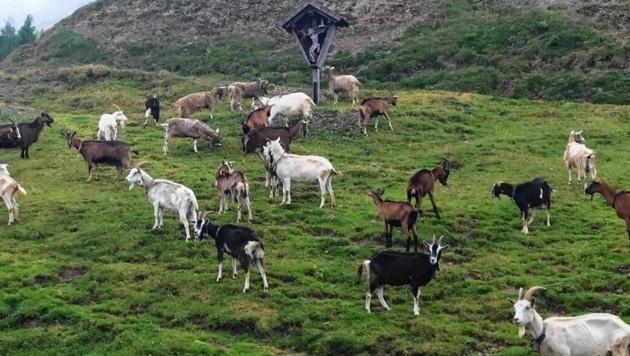 Ziegen grasen auf der Gundersheimer Alm. (Bild: Christoph Buchacher)