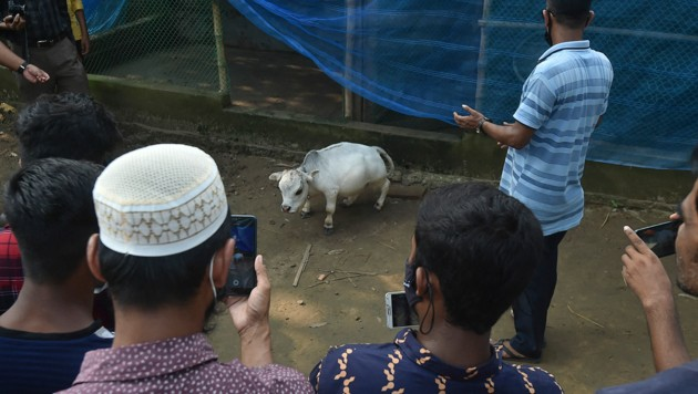 Trotz Lockdown bekommt die kleine Kuh viel Besuch. (Bild: AFP )