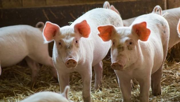 Punkto artgerechte Schweinehaltung besteht Aufholbedarf (Bild: Hronek Eveline)