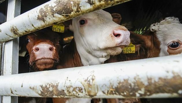 Qualen über Qualen - die vielen Tiertransporter heizen sich zu glutheißen Backöfen auf. (Bild: Tschepp Markus)