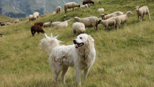 """Die Herdenschutzhunde können in der Schweiz die """"Katastrophe"""" offensichtlich auch nicht abwenden. (Bild: ÖBSZ)"""