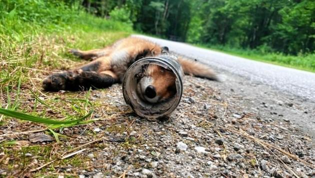 Was für ein trauriges, durch Müllsünder verursachtes Ende für den jungen Fuchs! Sein Kopf blieb in einer Dose stecken, er konnte nicht mehr fressen. (Bild: Steirische Jägerschaft)