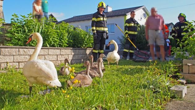 Die erschöpfte Schwanenfamilie irrte viele Stunden umher. (Bild: Feuerwehr Waidhofen/Thaya)