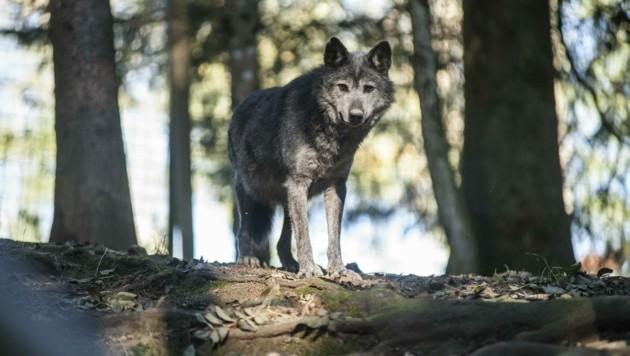 Manuela Kopecky (kl. Bild) vom Land OÖ wäre dankbar für Fotonachweise bei Wolfssichtungen, wie zuletzt im Mühlviertel. (Bild: Jörg Dieckmann)