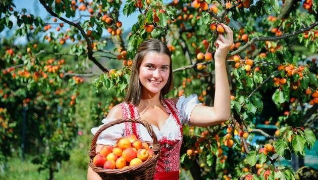 Kathi hat sich bereits einen Korb voll mit süßen Wachauer Marillen gepflückt. (Bild: Holl Reinhard)