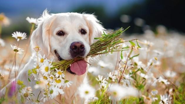 Hunde profitieren von der Heilkraft der Kamille durch ihre entzündungshemmende, antibakterielle, krampflösende Wirkung. Für Katzen ist sie allerdings nicht geeignet (Bild: ©GTeam - stock.adobe.com)