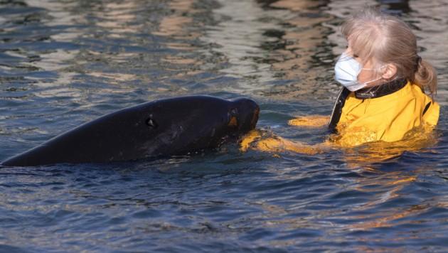 """""""Toa"""" wurde rund um die Uhr von Tierschützern und Experten betreut und gefüttert. (Bild: APA/AFP/Marty MELVILLE)"""