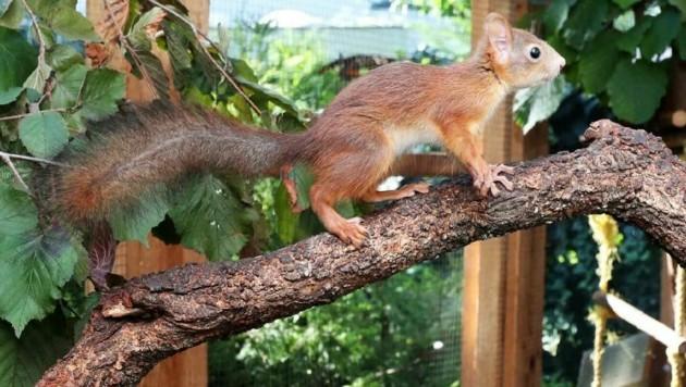 Angela Auer pflegt auch regelmäßig süße Eichhörnchen wieder gesund. Dafür wurde sie mit dem Tierschutzpreis ausgezeichnet. (Bild: Reinhard Judt)
