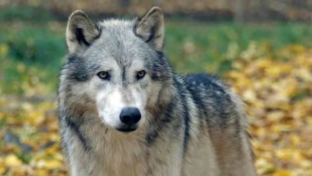 DNA-Spuren eines Wolfes wurden am Dobratsch nachgewiesen. (Bild: Klemens Groh)