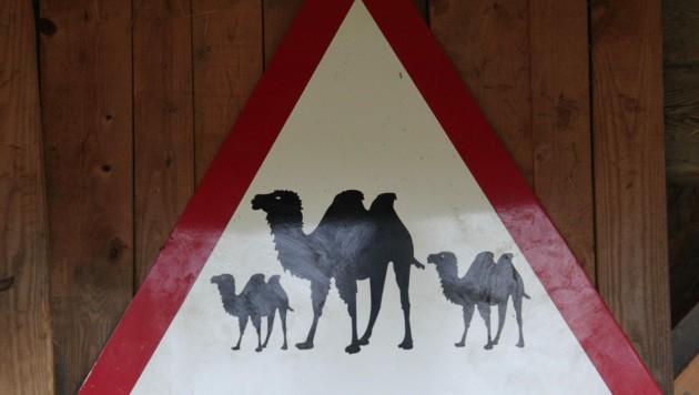 Kamel-Alarm bei Olympia im japanischen Tokio. (Bild: KRONEN ZEITUNG)