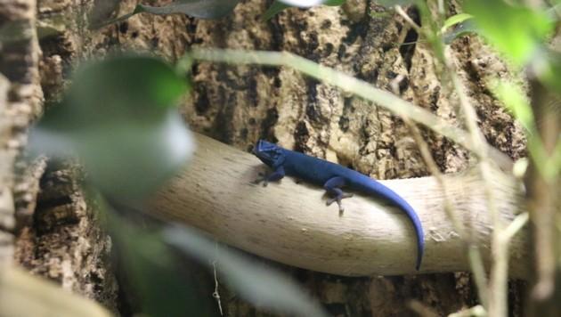 Mister Blue in seinem neuen Zuhause. (Bild: Zoo Salzburg)