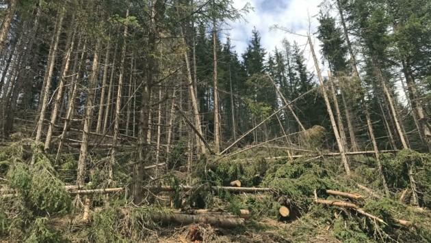 Schadholz, verursacht durch Stürme oder Schneefälle, sorgt für die schnellere Vermehrung des Schädlings. (Bild: Land Tirol)