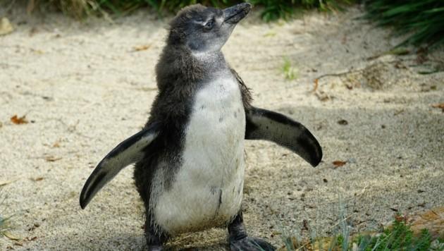 Das Pinguinküken hält die Pfleger ziemlich auf Trab. (Bild: Zoo Salzburg)