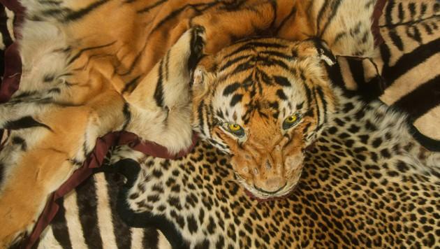 Beschlagnahmte Tierfelle (Bild: Edward Parker/WWF)