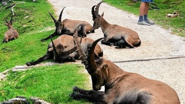 Die Tiere sind an Besucher gewöhnt und lassen sich nicht aus der Ruhe bringen. (Bild: Wassermann Kerstin)