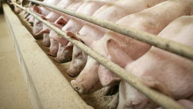 Schweine am Futtertrog im Stall eines Mastbetriebes (Bild: dpa-Zentralbild/Patrick Pleul)
