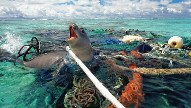 Gefangen im Netz - kein Ausweg mehr für diese Robbe (Bild: naturepl.com/Michael Pitts/WWF)