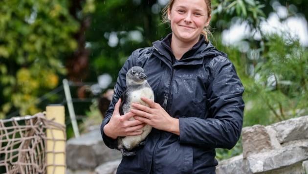Tierpflegerin Angi kümmert sich mit viel Hingabe um den kleinen Brillenpinguin im Salzburger Zoo. (Bild: Tschepp Markus)