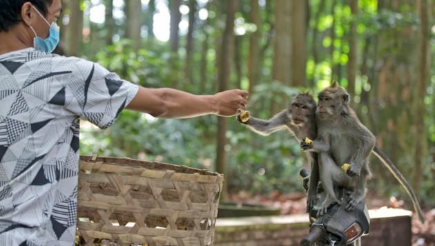 Ein Arbeiter füttert Makaken im Sangeh Monkey Forest, damit sie nicht auf die schiefe Bahn geraten und in Häuser einbrechen. (Bild: Associated Press)