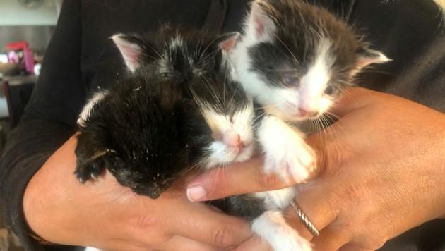 Die Tierschützer kämpfen um das Leben der kleinen Kätzchen. (Bild: Pfotenhilfe)