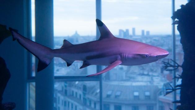 Der Hai scheint in seinem neuen Becken über der Stadt zu schweben. (Bild: Almir Ahmetovic)