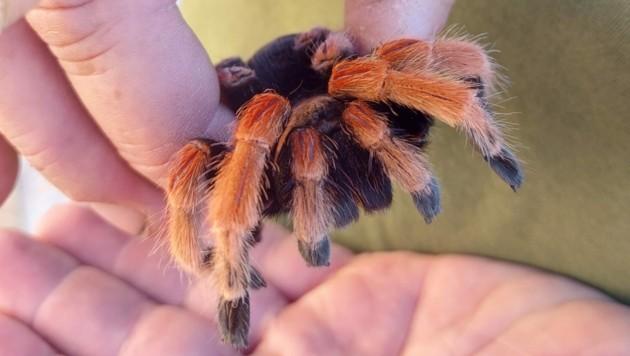 Die Orangenbein-Vogelspinne wurde eingefangen und in Sicherheit gebracht. (Bild: ZVG)
