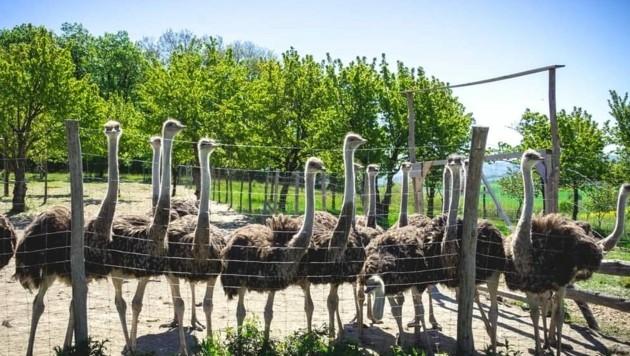 Auf der Farm in Wiesen leben über 20 Strauße in einem großen Gehege. (Bild: Straußenfarm Wiesen/Claudia Schweiger)