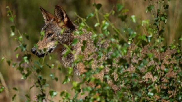 In Vorderstoder wurde ein Wolf gesehen, aber leider nicht fotografiert. Die Wolfsbeauftragten wären froh, wenn sie Bilder bekommen. (Bild: AFP or licensors)