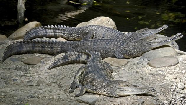 """Das Australien-Krokodil lebt in Süßwasser und gehört zu den Echten Krokodilen. Von Einheimischen werden die Reptilien """"freshies"""" genannt. (Bild: ©Mikhail Blajenov - stock.adobe.com)"""