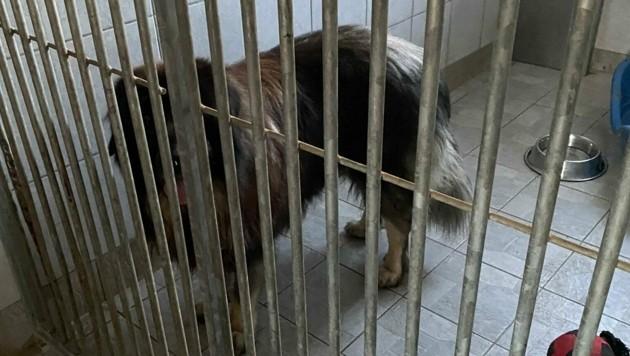Der Sarplaninac sollte getötet werden, weil er gebissen hat. Ein weiteres, trauriges Schicksal eines Herdenschutzhundes. (Bild: Secure Base)