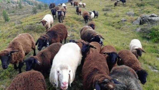 Diese Schafherde ist im Bereich Teuchlspitze verschwunden. (Bild: Günther Egger)