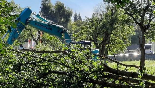 Alle Obstbäume auf dem Areal waren morsch und wurden deshalb entfernt . (Bild: Laura Winkler)