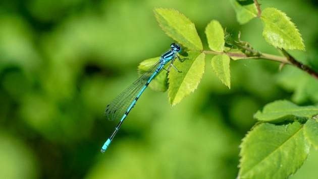 Vogel-Azurjungfer: Die kleine Libelle wohnt in einem Natura-2000-Gebiet. (Bild: stock.adobe.com)