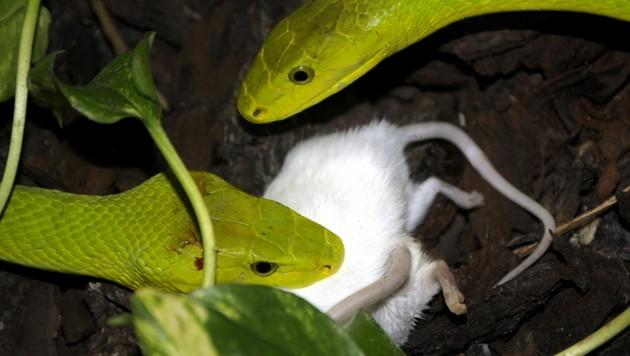 Die Maus ist zwar schon vorher tot, aber trotzdem ist eine Schlangenfütterung nichts für schwache Nerven. (Bild: Haus des Meeres / Hans Novak)