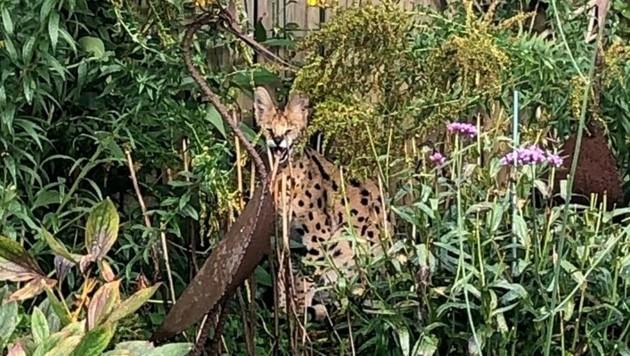 Bei dem Tier handelte es sich um einen Serval - eine afrikanische Wildkatze. (Bild: Kreispolizeibehörde Borken)