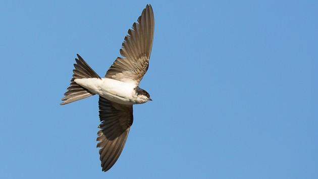 Mit der Mehlschwalbe (Delichon urbicum) kürt die Vogelschutzorganisation BirdLife Österreich einen typischen Bewohner unserer Dörfer und Städte zum Vogel des Jahres 2022. (Bild: Otto Samwald/BirdLife Österreich)