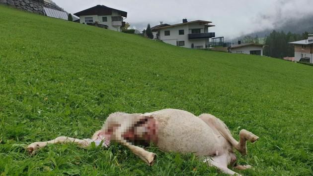 In nur 70 Meter Entfernung zum nächsten Wohnhaus wurde das gerissene Schaf aufgefunden. (Bild: Florian Rumer)