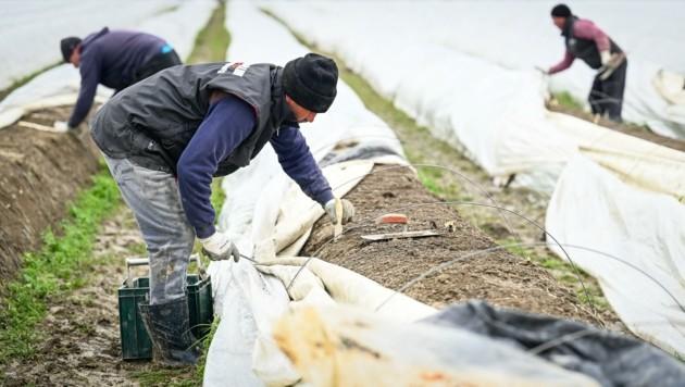Immer mehr Erntehelfer fehlen in NÖ: Mit heimischen Arbeitskräften oder Saisonniers aus EU-Ländern können die Erntespitzen schon jetzt nicht abgedeckt werden. (Bild: Alexander Schwarzl)