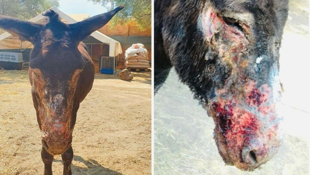 Dieser Esel hat das Feuer überlebt, aber die Wunden brauchen lange um zu heilen. (Bild: Verein GST)