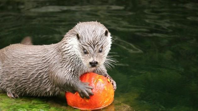 Der Fischotter nutzte den Kürbis als Spielzeug. (Bild: Zoo Salzburg)