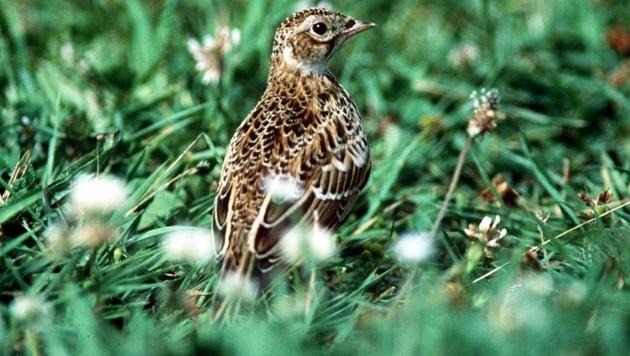Eine Feldlerche (Bild: Birdlife/Buchner)