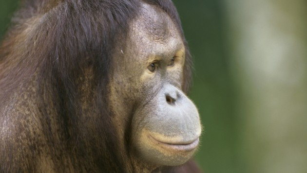 Orang-Utan (Bild: thinkstockphotos.de)